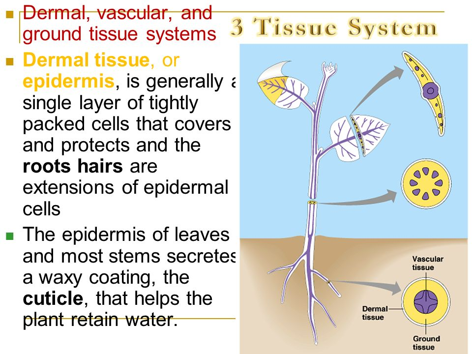 3 Tissue System Dermal, vascular, and ground tissue systems