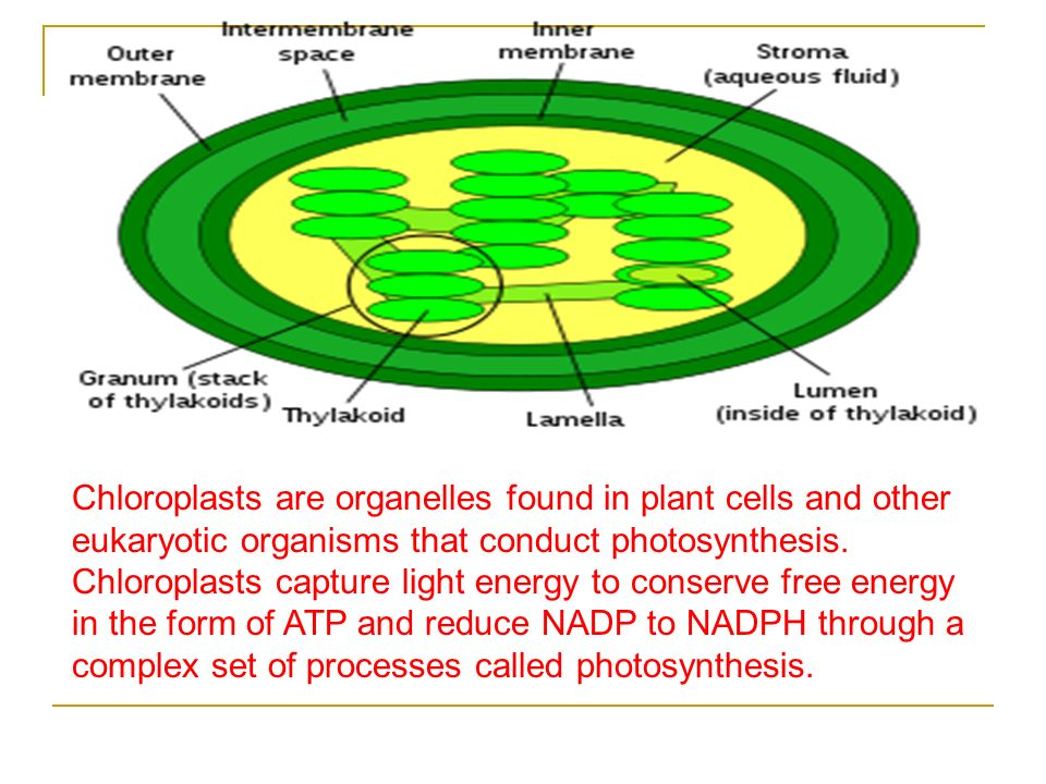 Chloroplasts are organelles found in plant cells and other eukaryotic organisms that conduct photosynthesis.