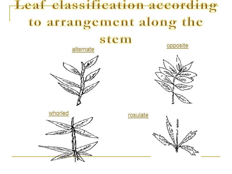 Leaf classification according to arrangement along the stem