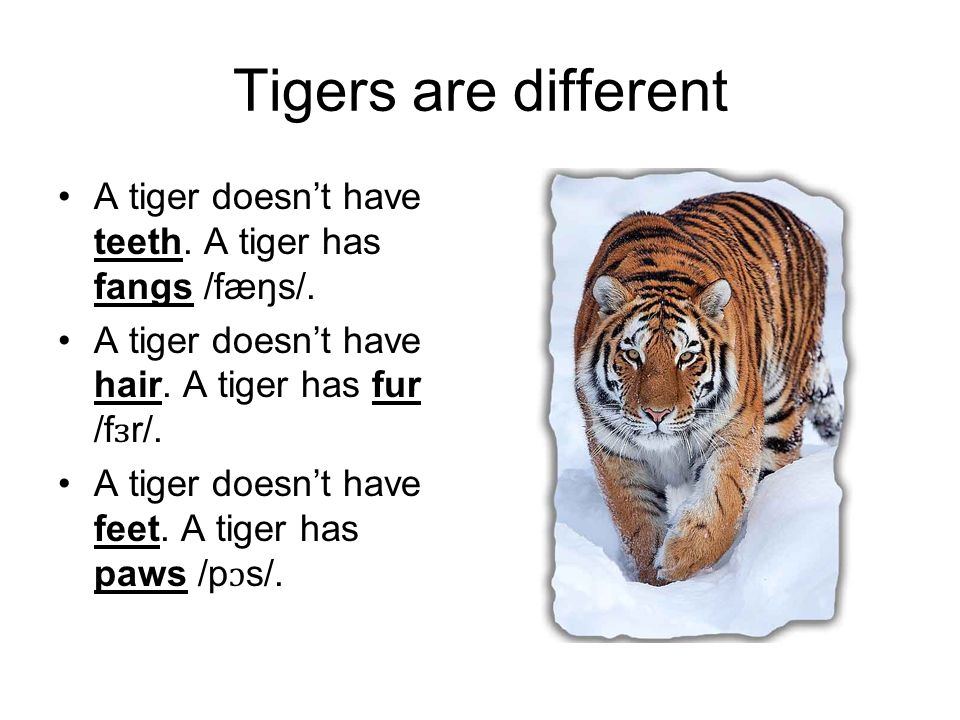Tigers are different A tiger doesn't have teeth. A tiger has fangs /fæŋs/. A tiger doesn't have hair. A tiger has fur /fɜr/.