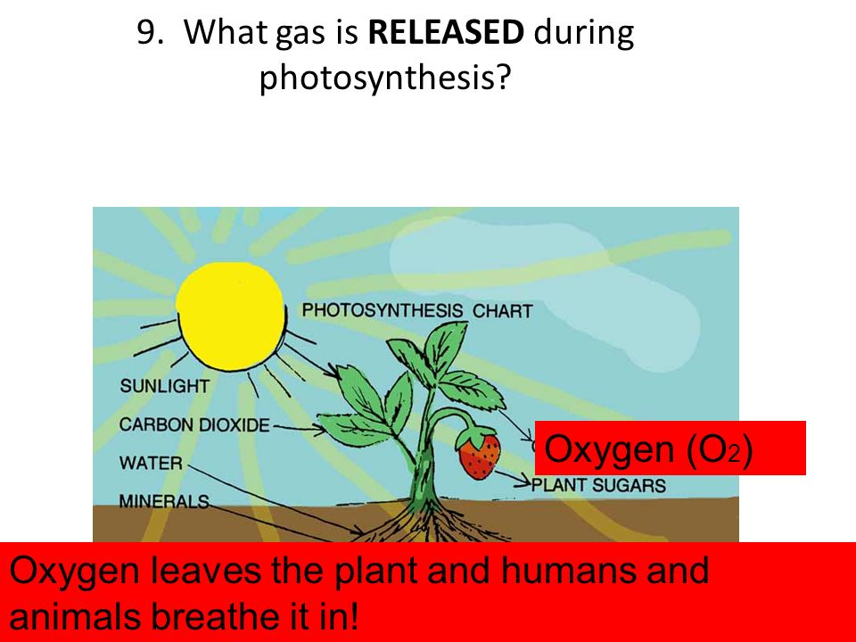 9. What gas is RELEASED during photosynthesis
