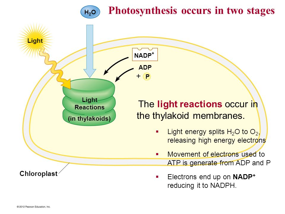 Photosynthesis occurs in two stages