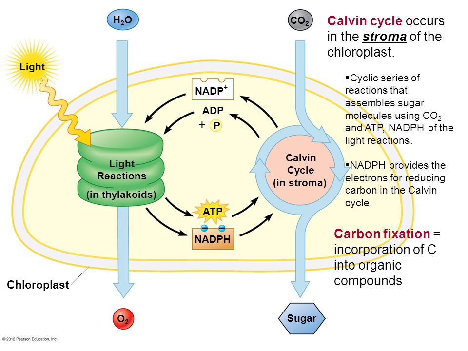 Calvin cycle occurs in the stroma of the chloroplast.