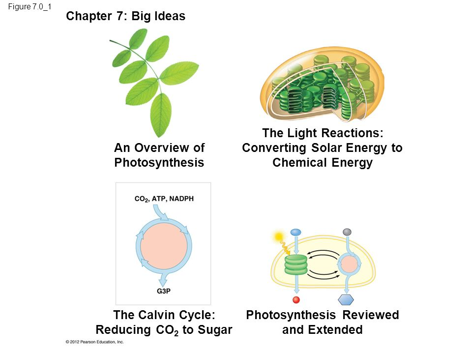 The Light Reactions: Converting Solar Energy to Chemical Energy