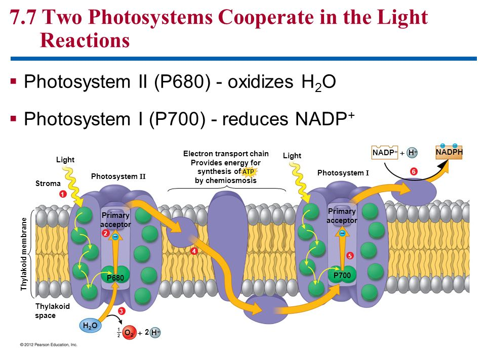 7.7 Two Photosystems Cooperate in the Light Reactions