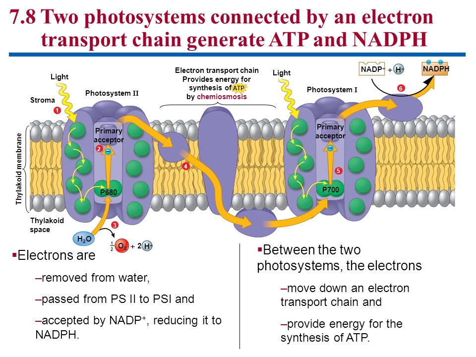 7.8 Two photosystems connected by an electron transport chain generate ATP and NADPH