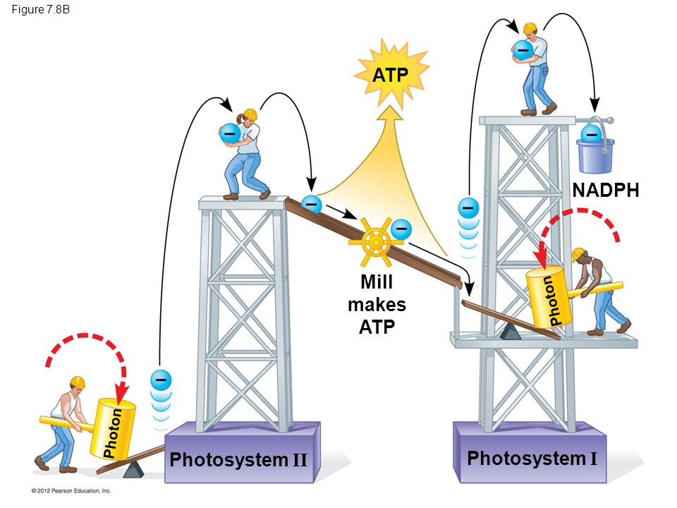 ATP NADPH Mill makes ATP Photosystem II Photosystem I Photon Photon