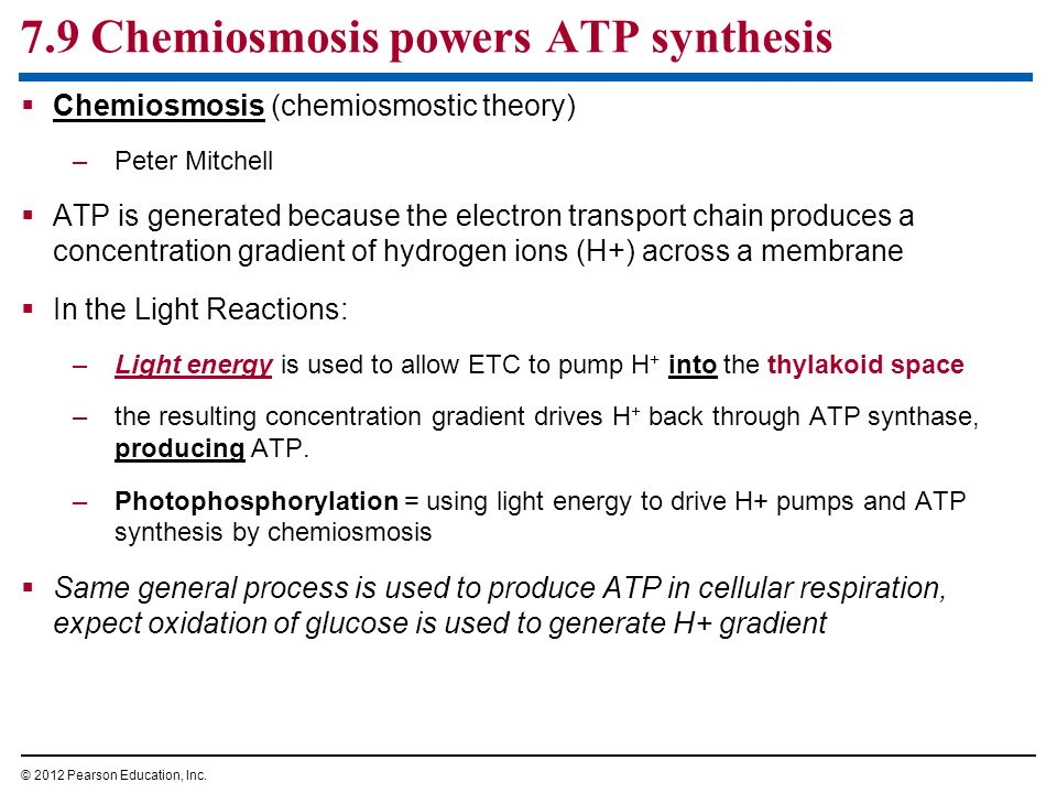 7.9 Chemiosmosis powers ATP synthesis