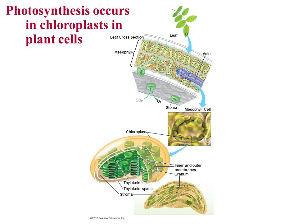 Photosynthesis occurs in chloroplasts in plant cells