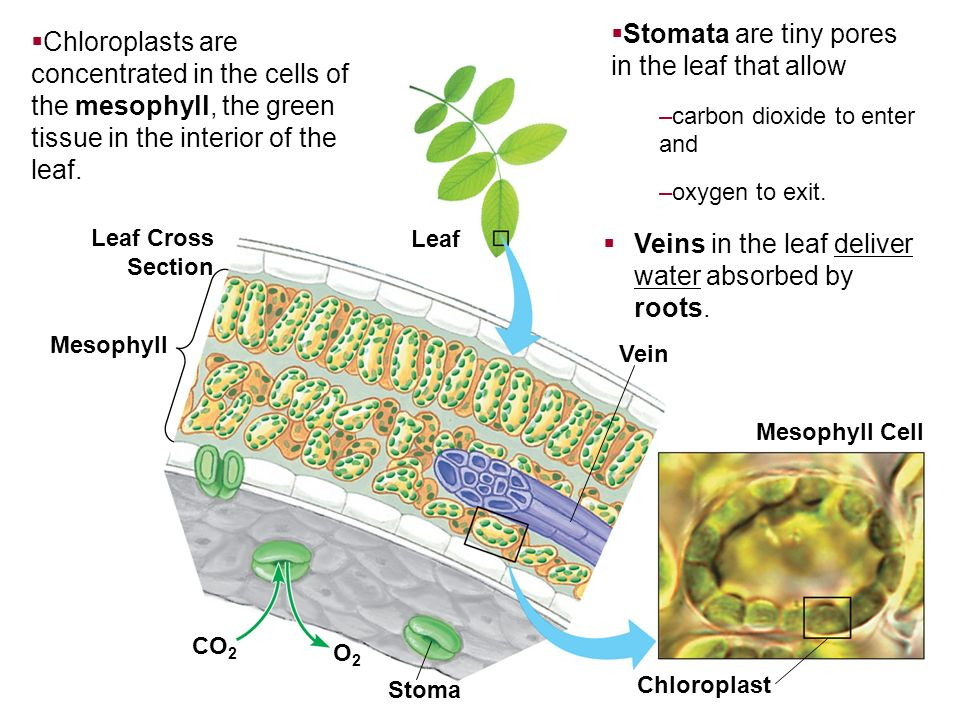Stomata are tiny pores in the leaf that allow