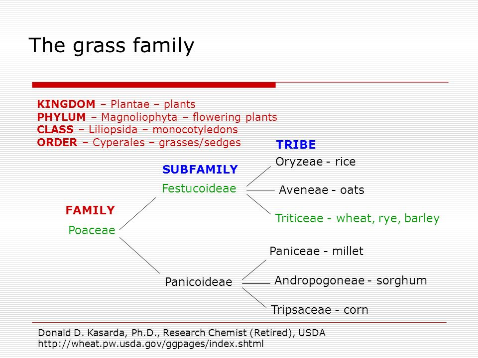 The grass family TRIBE Oryzeae - rice SUBFAMILY Festucoideae