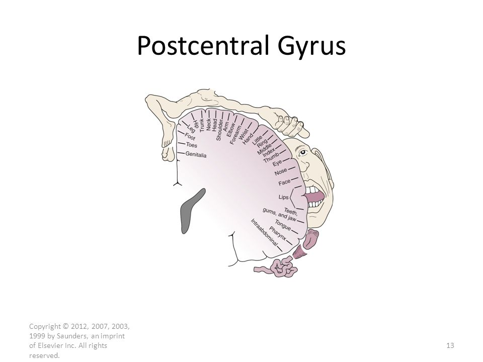 Postcentral Gyrus This illustration is from chapter 22. To review, precentral gyrus is a motor area and postcentral gyrus is a somatosensory area.