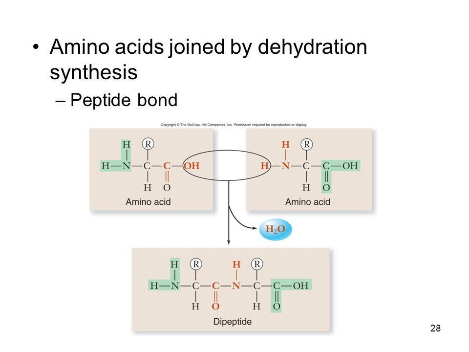 Amino acids joined by dehydration synthesis