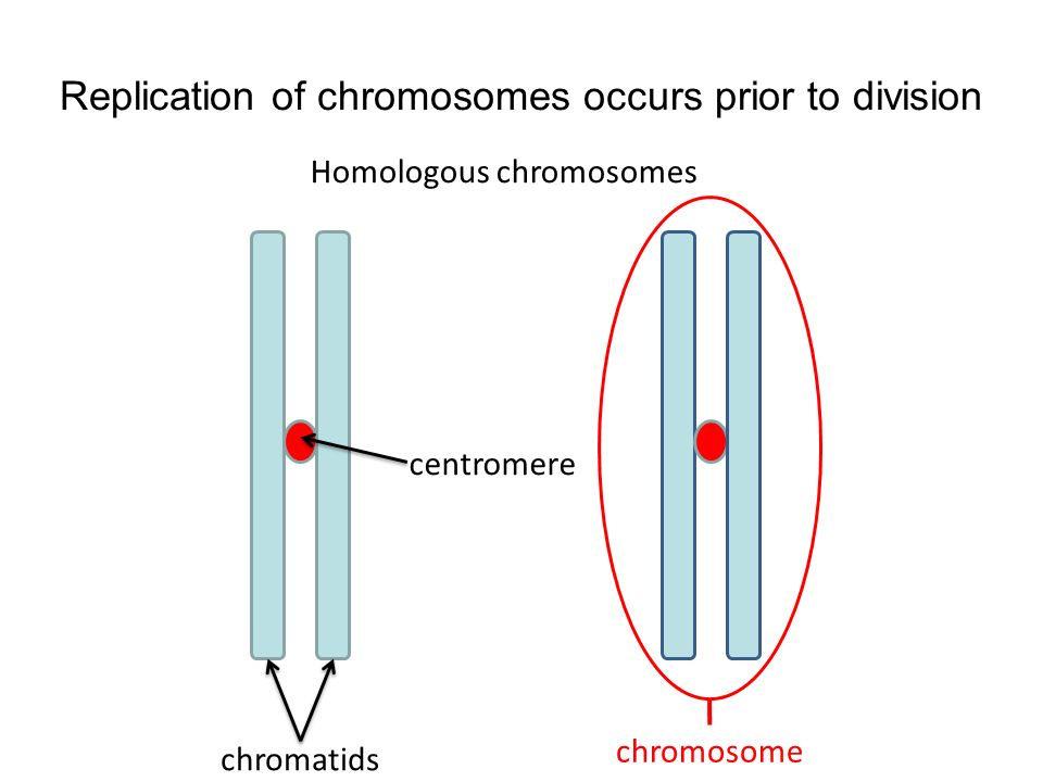 Replication of chromosomes occurs prior to division