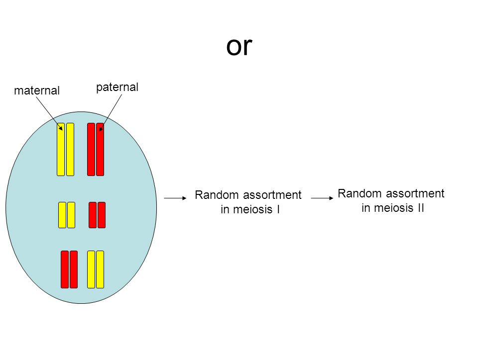 or paternal maternal Random assortment in meiosis II Random assortment