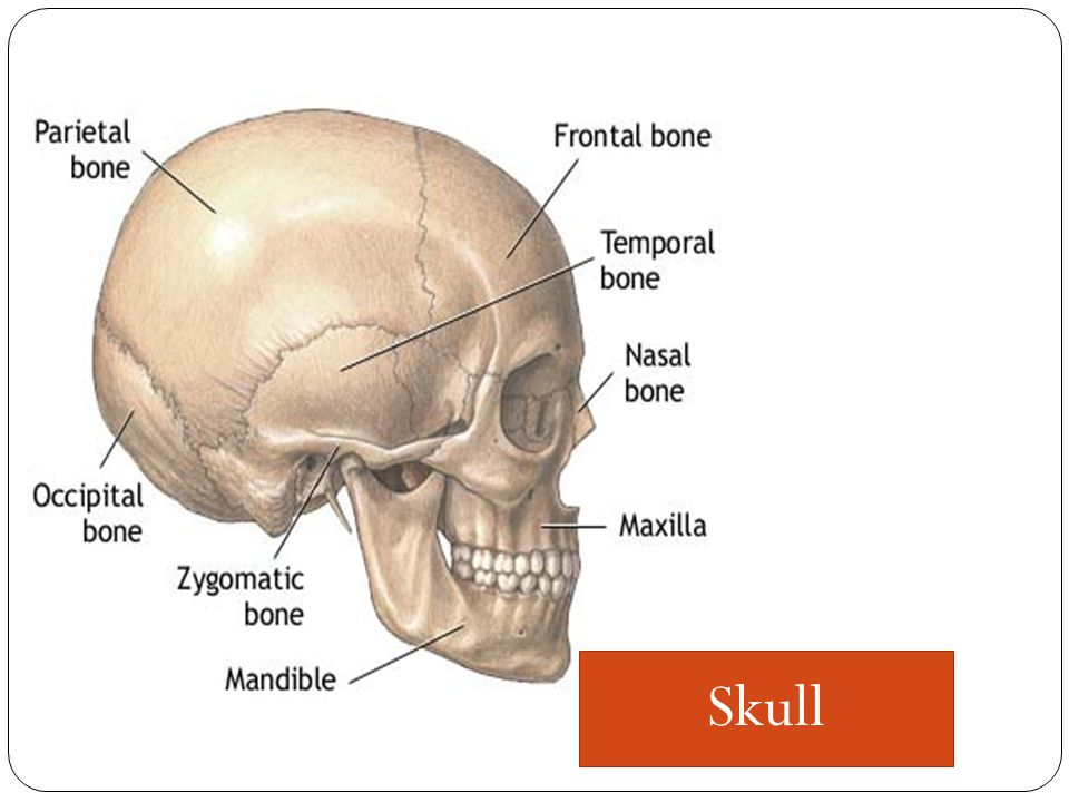 The skull is the bony framework of the head