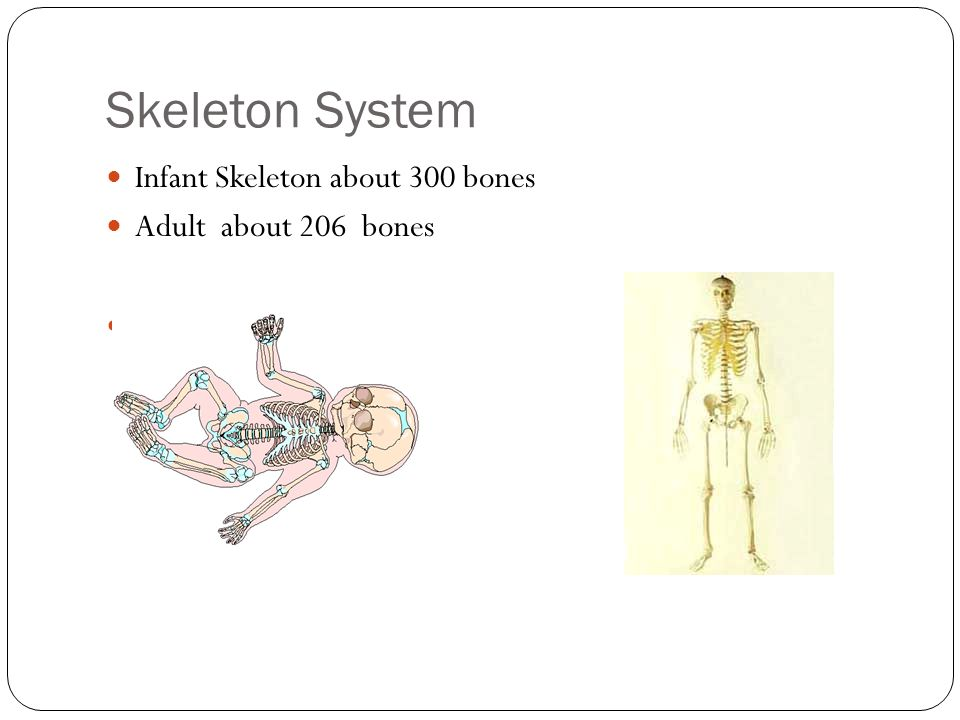 Skeleton System Infant Skeleton about 300 bones Adult about 206 bones
