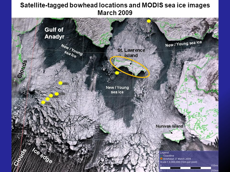 Satellite-tagged bowhead locations and MODIS sea ice images