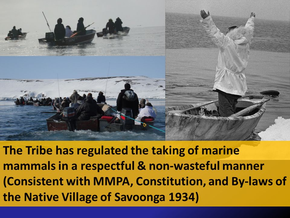 The Tribe has regulated the taking of marine mammals in a respectful & non-wasteful manner (Consistent with MMPA, Constitution, and By-laws of the Native Village of Savoonga 1934)