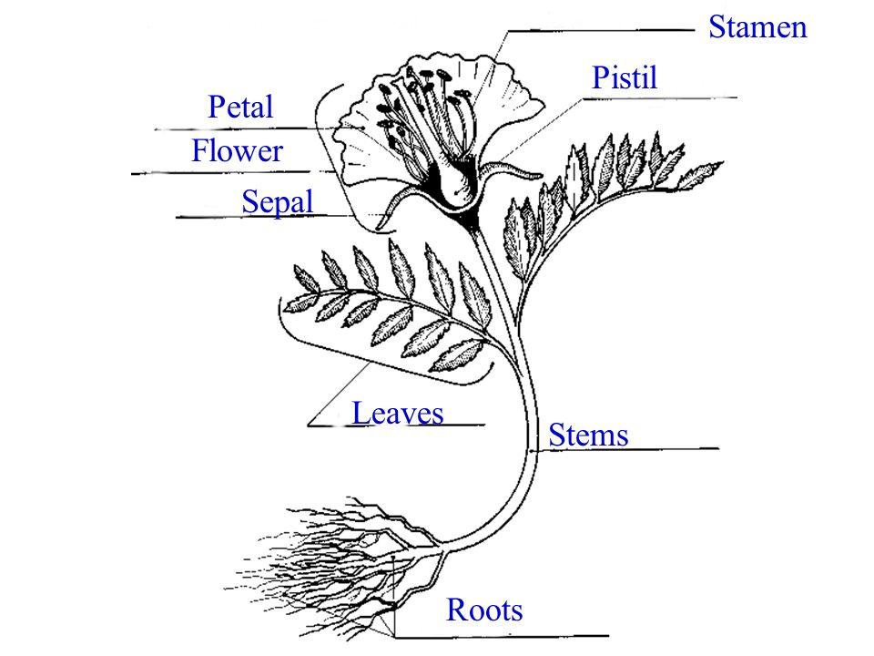Stamen Pistil Petal Flower Sepal Leaves Stems Roots