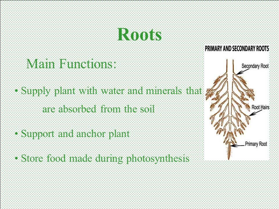 Roots Main Functions: Supply plant with water and minerals that are absorbed from the soil.