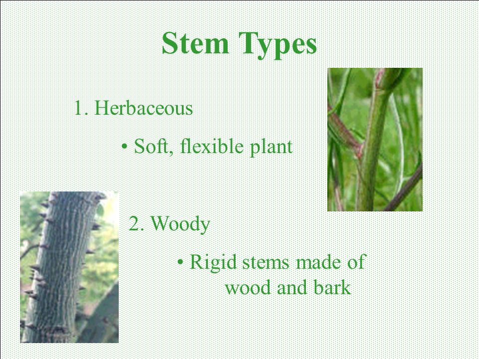 Stem Types 1. Herbaceous Soft, flexible plant 2. Woody