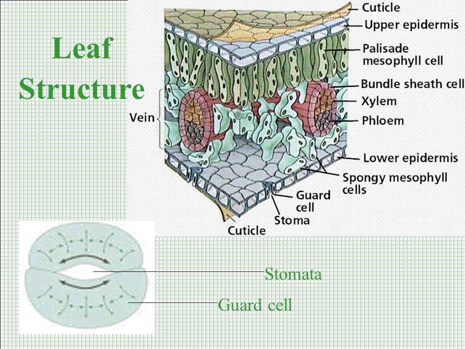 Leaf Structure Stomata Guard cell