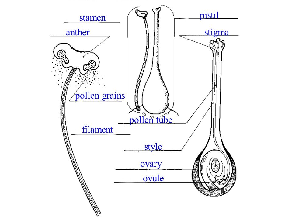 pistil stamen anther stigma pollen grains pollen tube filament style ovary ovule
