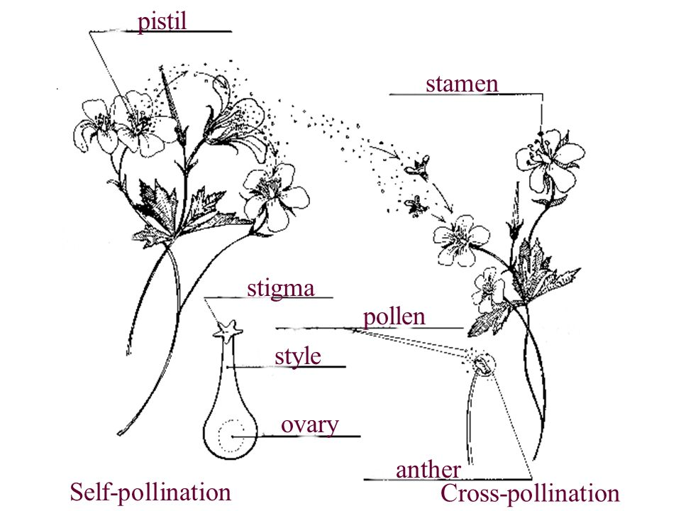 pistil stamen stigma pollen style ovary anther Self-pollination Cross-pollination