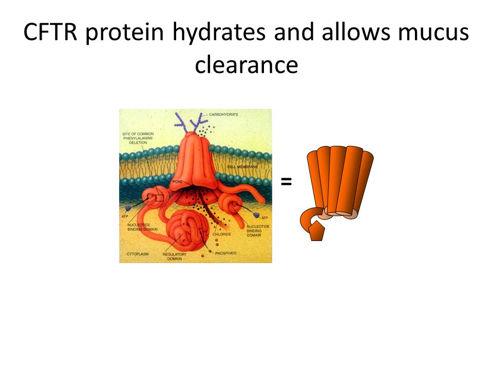 CFTR protein hydrates and allows mucus clearance