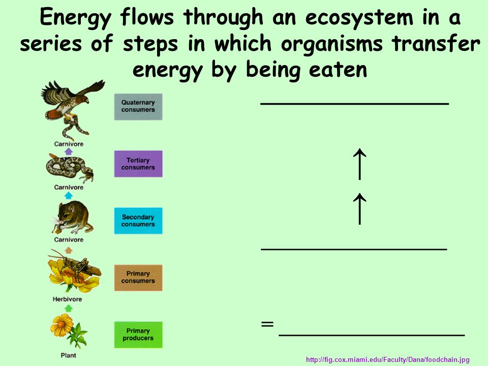 Energy flows through an ecosystem in a series of steps in which organisms transfer energy by being eaten
