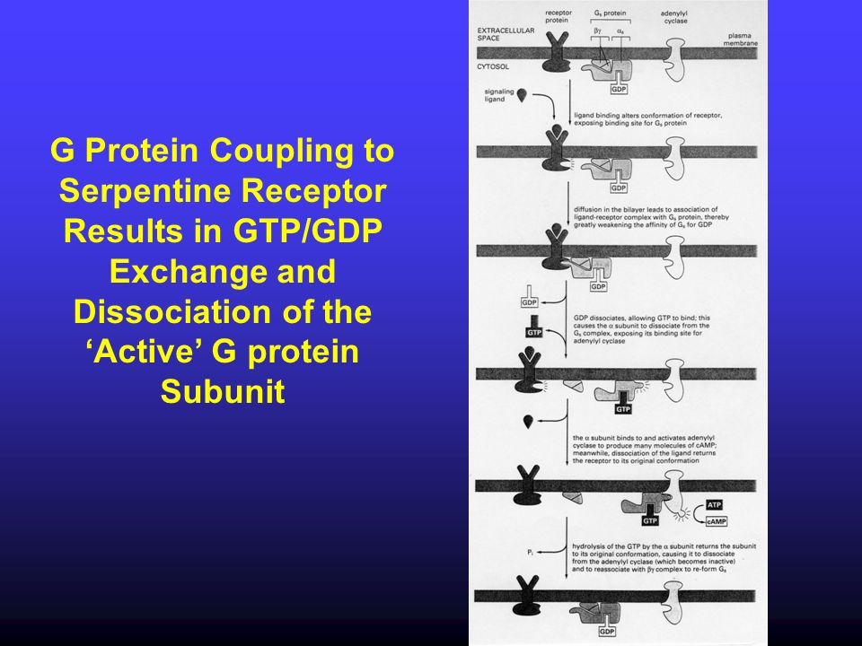 G Protein Coupling to Serpentine Receptor Results in GTP/GDP Exchange and Dissociation of the 'Active' G protein Subunit