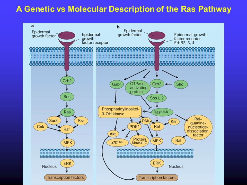 A Genetic vs Molecular Description of the Ras Pathway