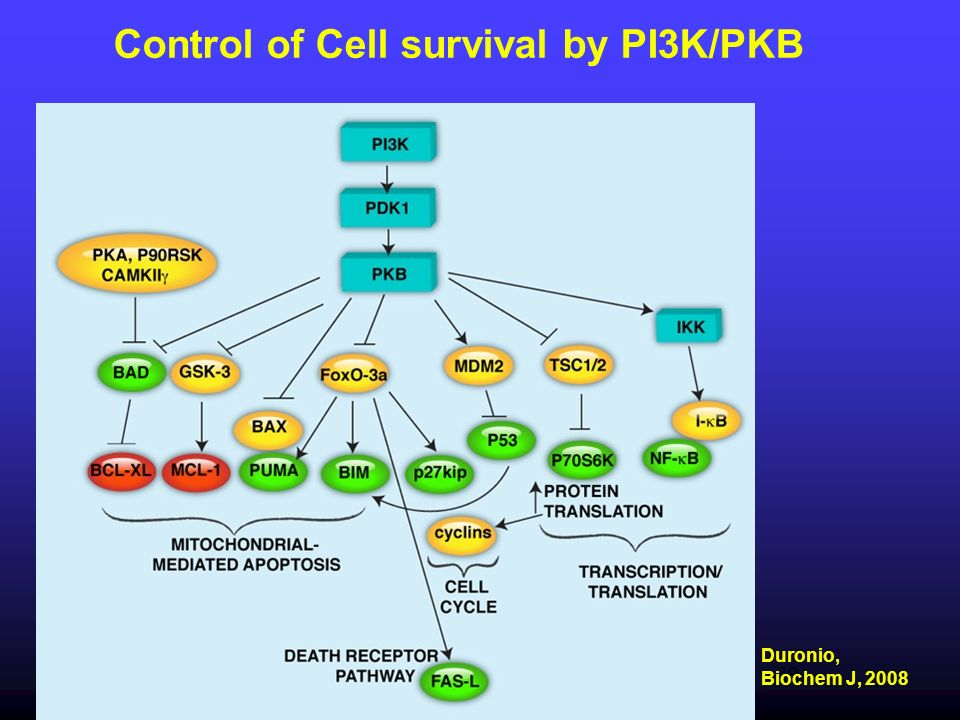 Control of Cell survival by PI3K/PKB