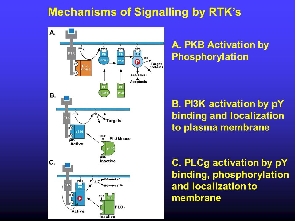 Mechanisms of Signalling by RTK's