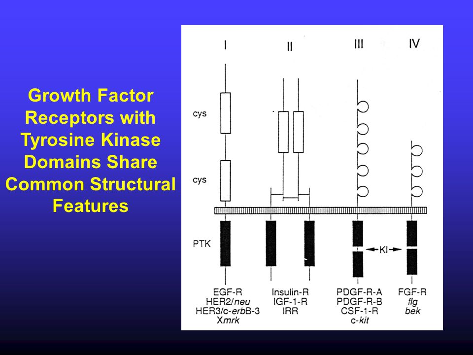 Growth Factor Receptors with Tyrosine Kinase Domains Share