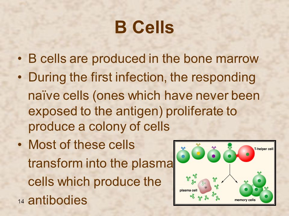 B Cells B cells are produced in the bone marrow