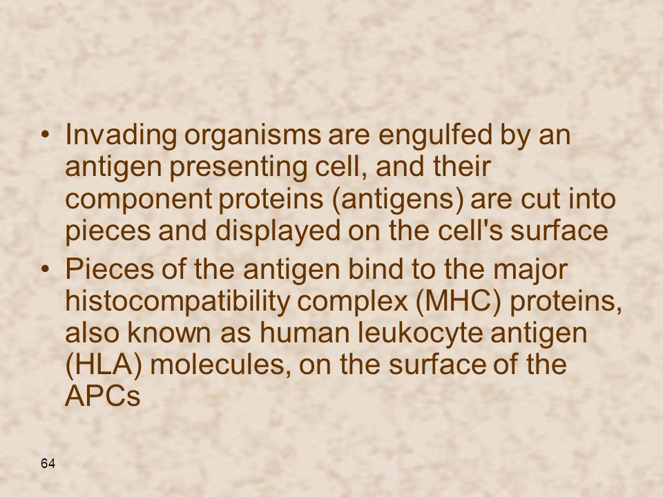 Invading organisms are engulfed by an antigen presenting cell, and their component proteins (antigens) are cut into pieces and displayed on the cell s surface