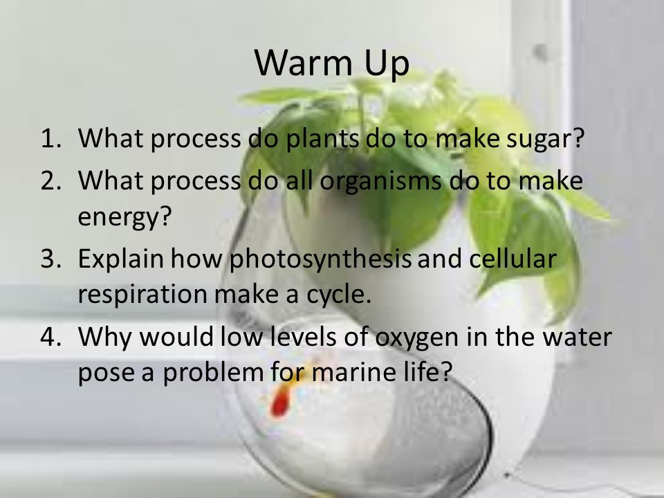 Warm Up What process do plants do to make sugar