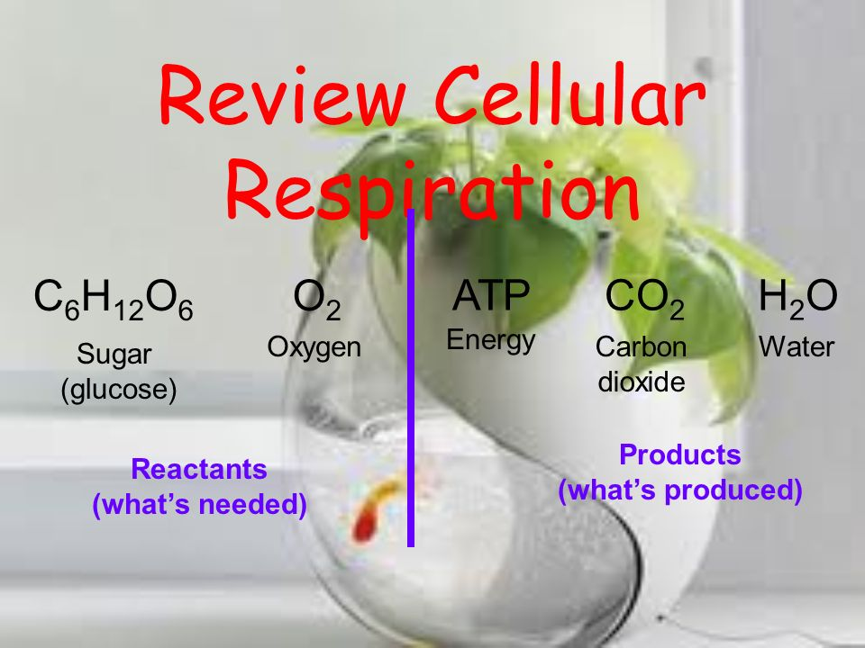 Review Cellular Respiration