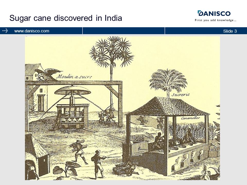 Sugar cane discovered in India