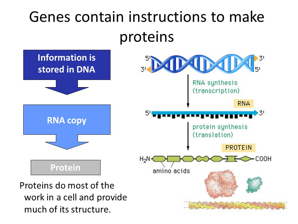 Information is stored in DNA