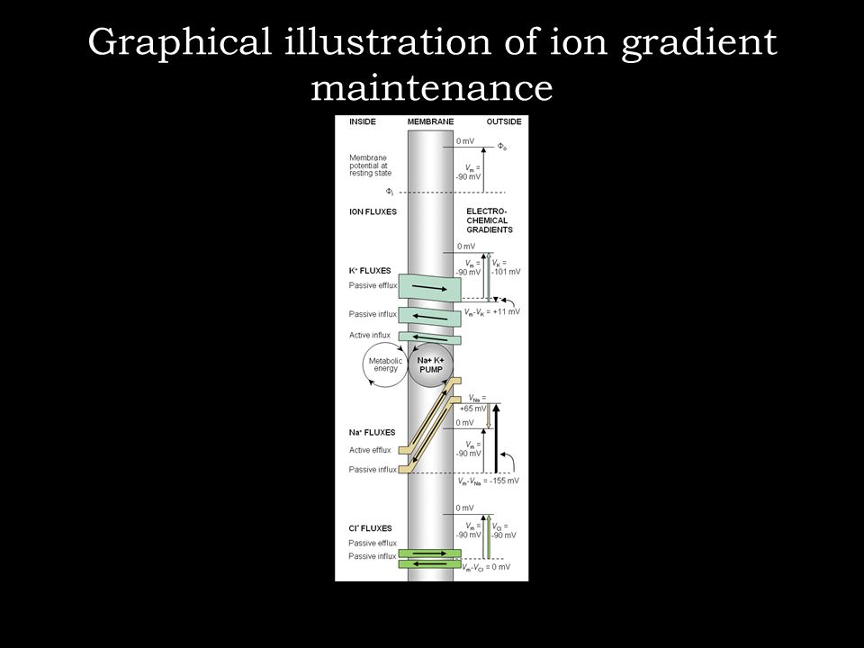Graphical illustration of ion gradient maintenance