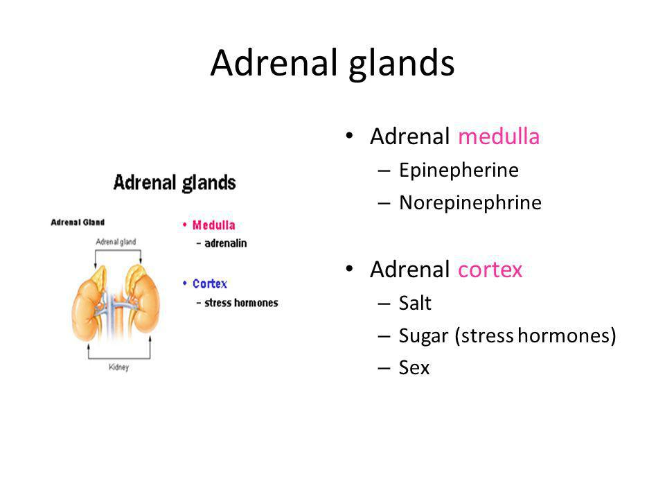 Adrenal glands Adrenal medulla Adrenal cortex Epinepherine
