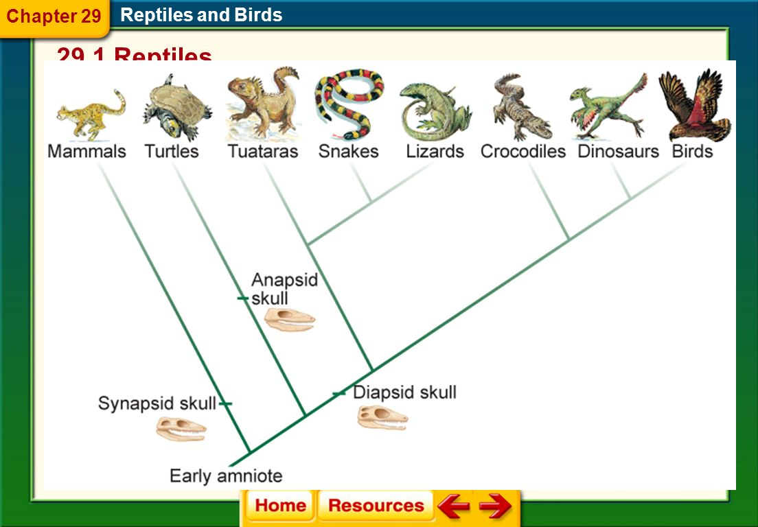 Chapter 29 Reptiles and Birds 29.1 Reptiles Evolution of Reptiles