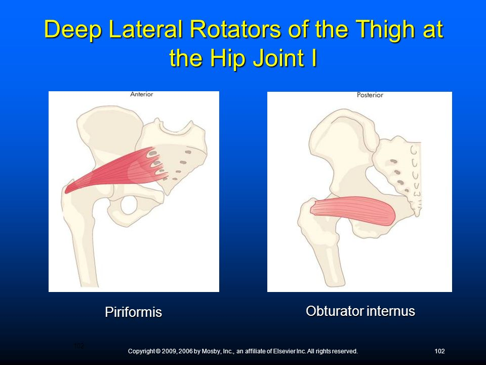 Deep Lateral Rotators of the Thigh at the Hip Joint I