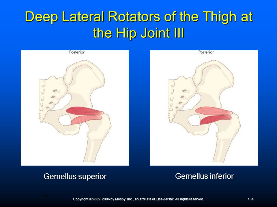 Deep Lateral Rotators of the Thigh at the Hip Joint III