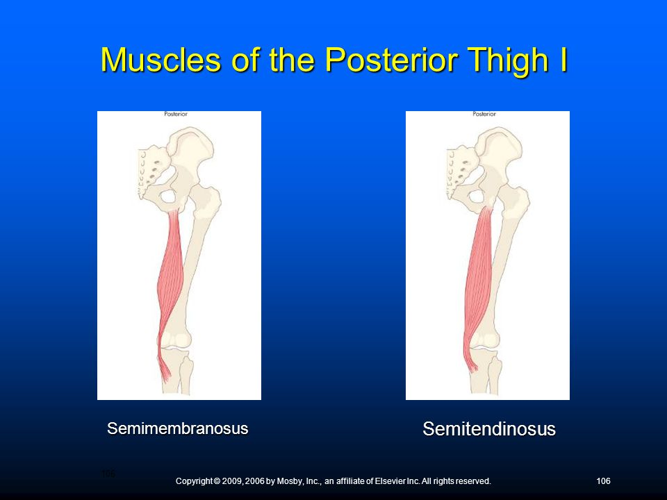 Muscles of the Posterior Thigh I