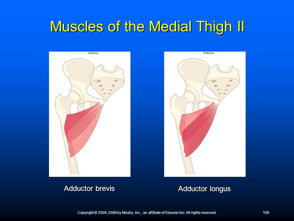 Muscles of the Medial Thigh II