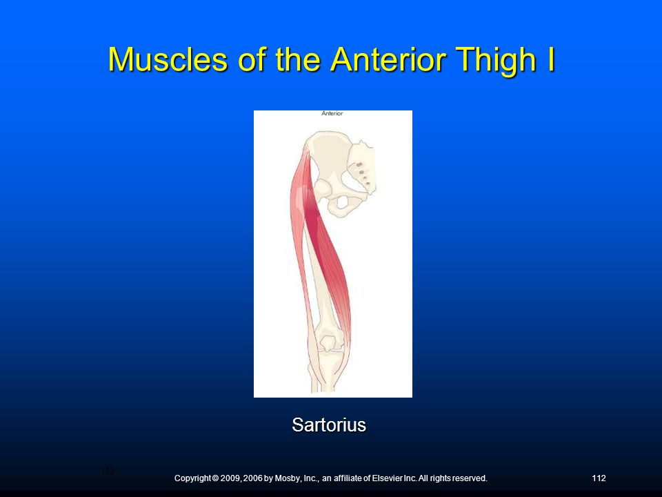 Muscles of the Anterior Thigh I